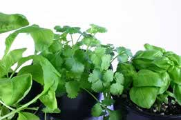 Growing Culinary Herbs For Profit