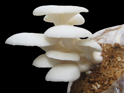 Business blueprint for a successful mushroom growing business how to grow edible mushrooms and - Growing oyster mushrooms profit ...