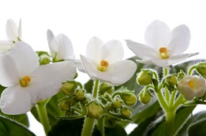 Indoor Flower Farming With African Violets
