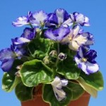 Africal Violets are Profitable Plants