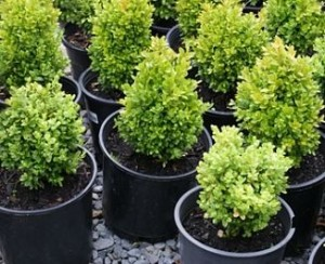 Profitable Potted Shrubs in a Backyard Nursery