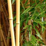 Got a Green Thumb? Why Not Grow Bamboo For Profit?
