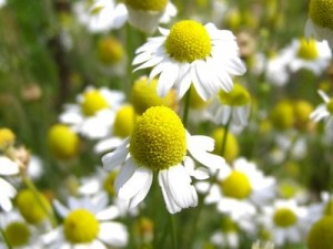 Chamomile grown for herbal business