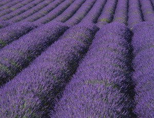 Lavender is a dependable money maker for any herb business