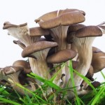 How to Make Money Growing Oyster Mushrooms for Profit