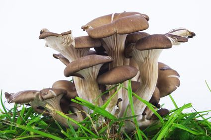 How to make 60 000 yearly growing gourmet mushrooms profitable plants - Growing oyster mushrooms profit ...