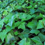How to Make Money Growing Ground Covers for Profit