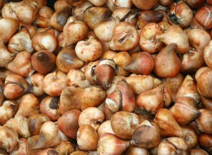 Tulip Bulbs Can Be a Profitable Niche for Flower Farming