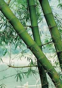 Growing Bamboo For Profit