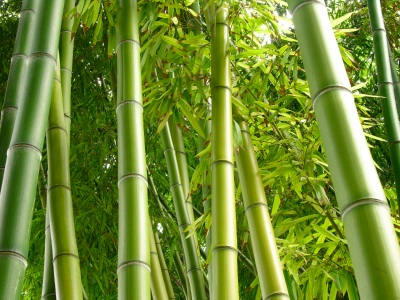 How to make 60 000 a year with a bamboo nursery - Bambu nombre cientifico ...