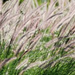 Five Profitable Ornamental Grasses for a Backyard Plant Nursery