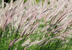 Fountain Grass is a profitable landscaping plant for a backyard plant nursery