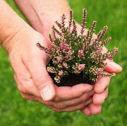 Heather is one of the most profitable plants for a backyard nursery