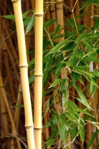 Bamboo Nursery Plants