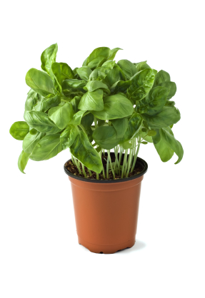 Basil Is A Best Er For Herbal Business