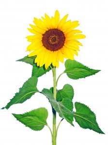 Sunflowers are a profitable farmer's market flower