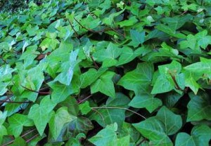 English Ivy (Hedera helix) is a very popular groundcover